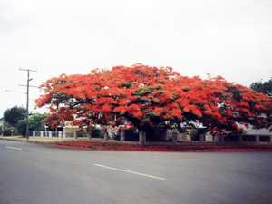 Targo St poinciana over time