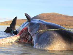 'Horrific' find inside beached whale