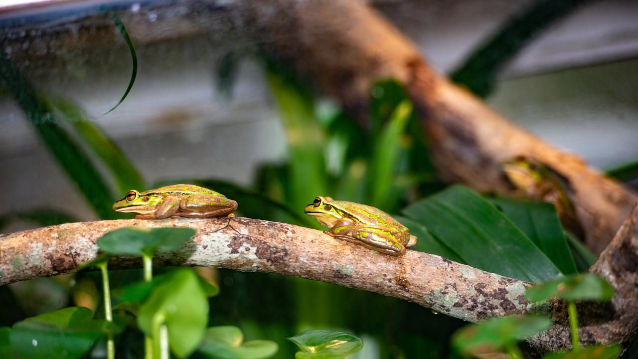 Visitors will also be able to see the Green and Golden Brell Frog. Peter was one of the first to notice and report the decline of these frogs in the early 1980s.