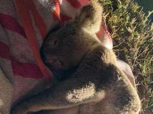 Koala protection policy 'shameful'
