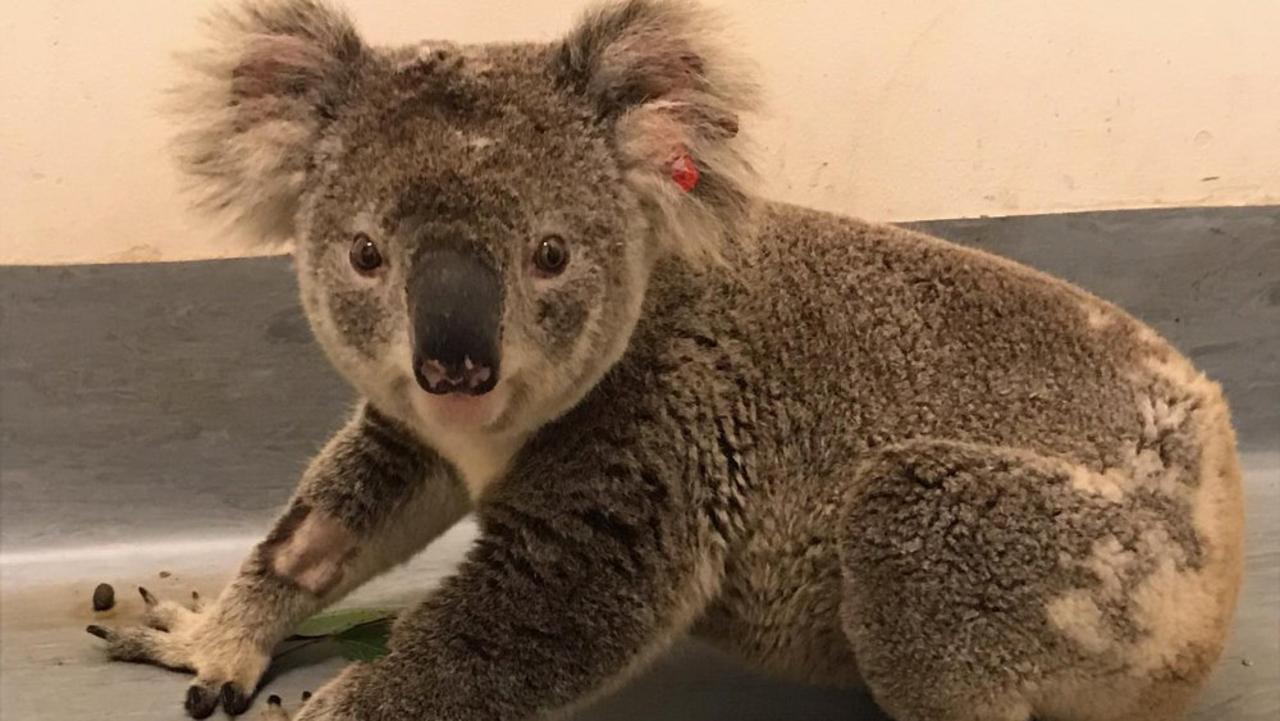 Protecting koala habitats is one of the key reasons behind the change.