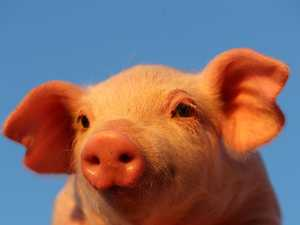 Another woman charged as piglet theft probe continues