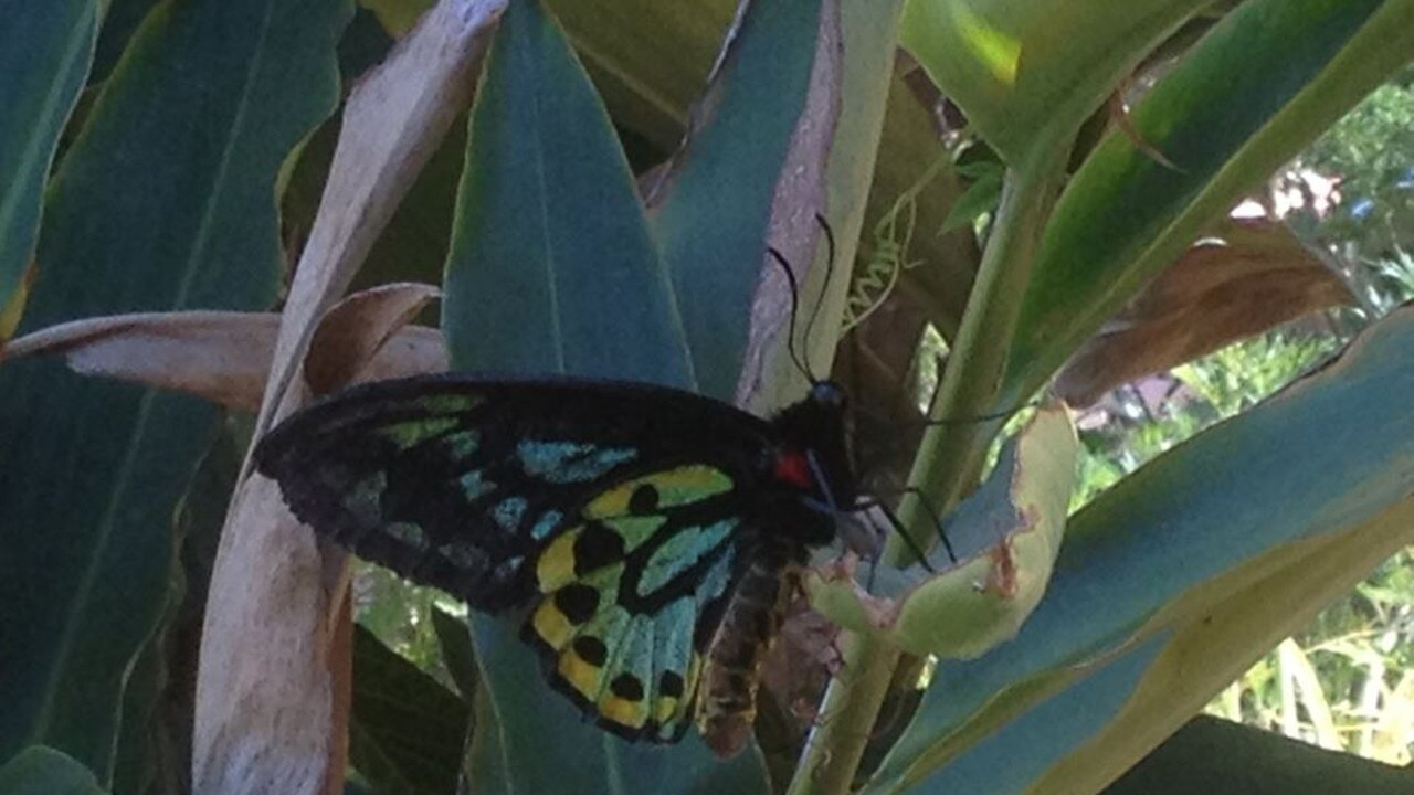 BEAUTY: Richmond birdwing butterflies (Ornithoptera richmondia) have been sighted in abundance in parts of the region over the last few days.