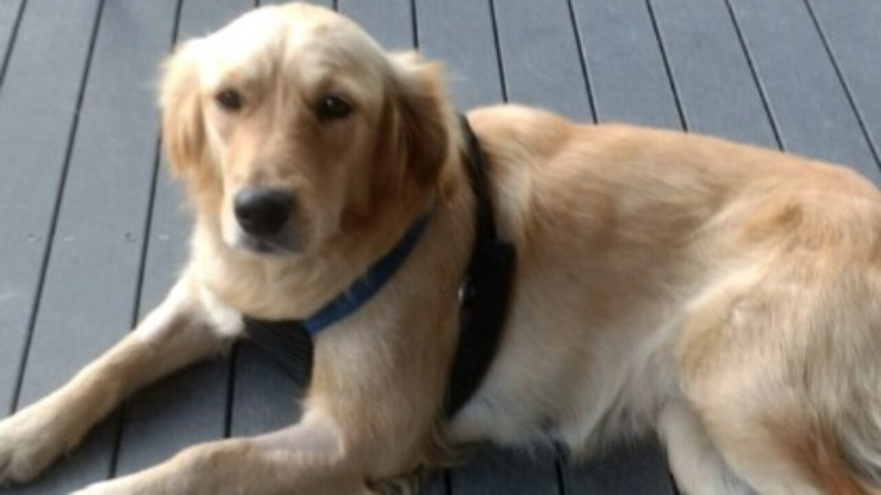 Hope the golden retriever is still missing after her escapeed across the Gympie region. Photo: Contributed