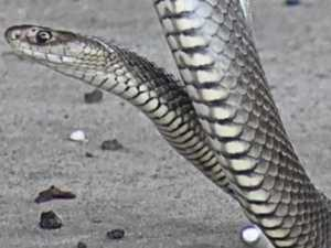 Silver snake hiding deadly secret