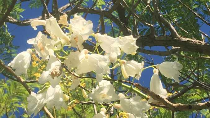 White is nice in jacarandas You can have a 'snowy' Christmas with variation of a favourite tree