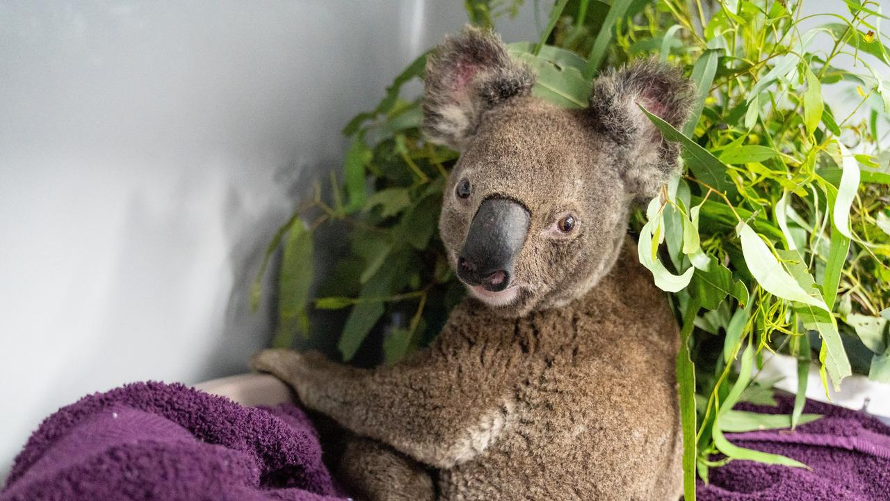 Koala rescued from the Pechey fires recovering at the RSPCA koala hospital in Wacol.