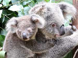 Koala policy 'not strong enough': Environmental experts