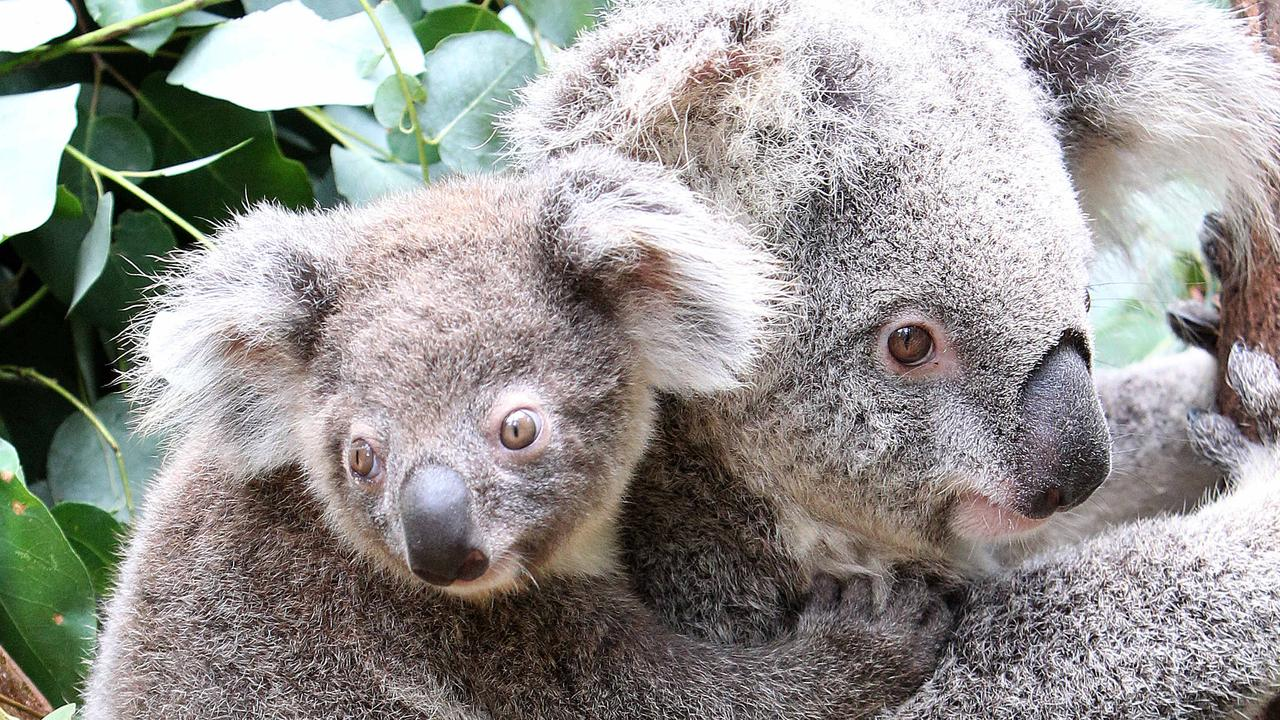 The NSW government's new koala habitat protection policy does not go far enough, environmental groups say.