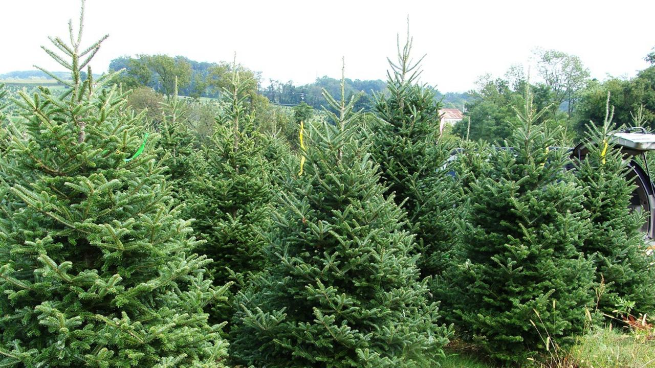 Fresh cut Christmas trees, similar to these, are available in Hervey Bay.