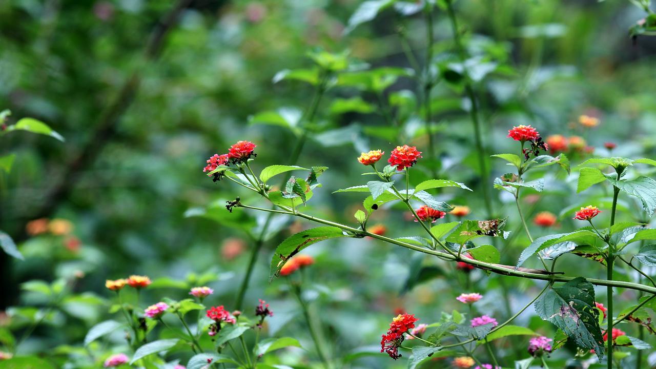 INVASIVE: Lantana is one of many invasive plants Queensland landowners struggle to contain. Pic: Calleja Mark