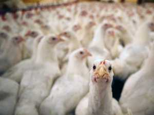 Thousands of extra chooks to descend on Lockyer Valley