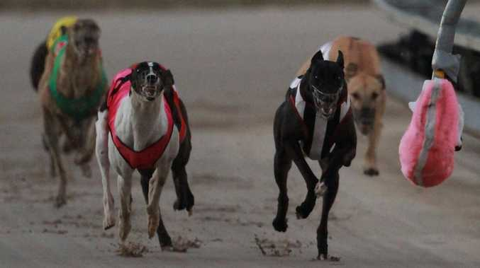 Derby excitement as kennel mates rev up