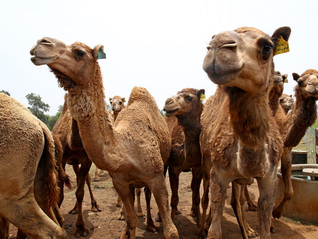 Always keen for a snack, some of the 80 head of camel keep an eye out for Dan. Picture: Toby Zerna