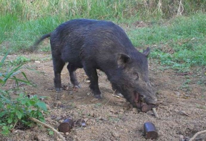 Should there be more wild pig bounties?
