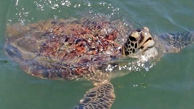 Gympie's turtle nesting season just got more exciting