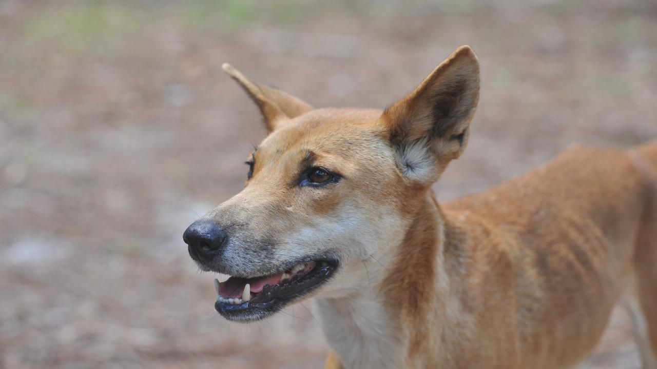 Fraser Island - tagged dingo at Central Station.Photo: Alistair Brightman