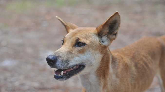Heated debate follows decision to euthanise dingo