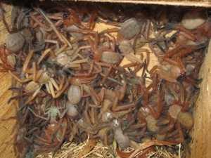 'Rare': Massive nest of huntsman spiders