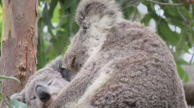 'Heartbreaking loss' as mum and bub koalas die on Tin Can Bay Rd