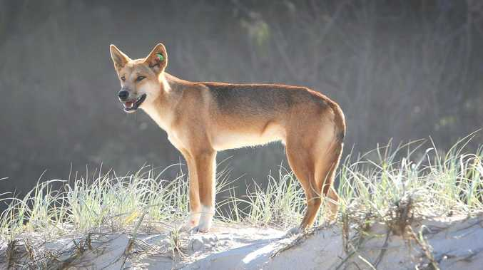 OUR SAY: No wonder dingo frustrations run so high