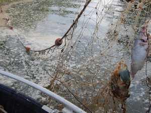 Shark caught in illegal fishing net