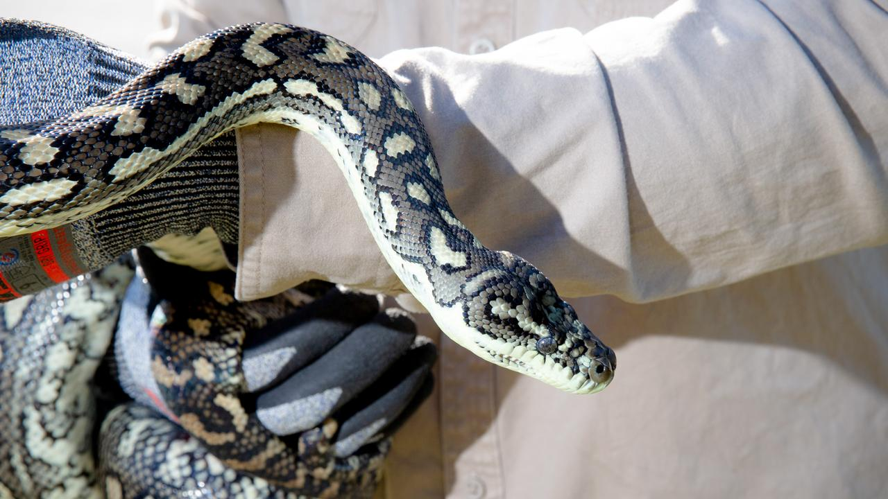 Andergrove snake catcher Mel Ellul said the warm weather had brought out more snakes throughout the region. Picture: AAP Image/Richard Walker