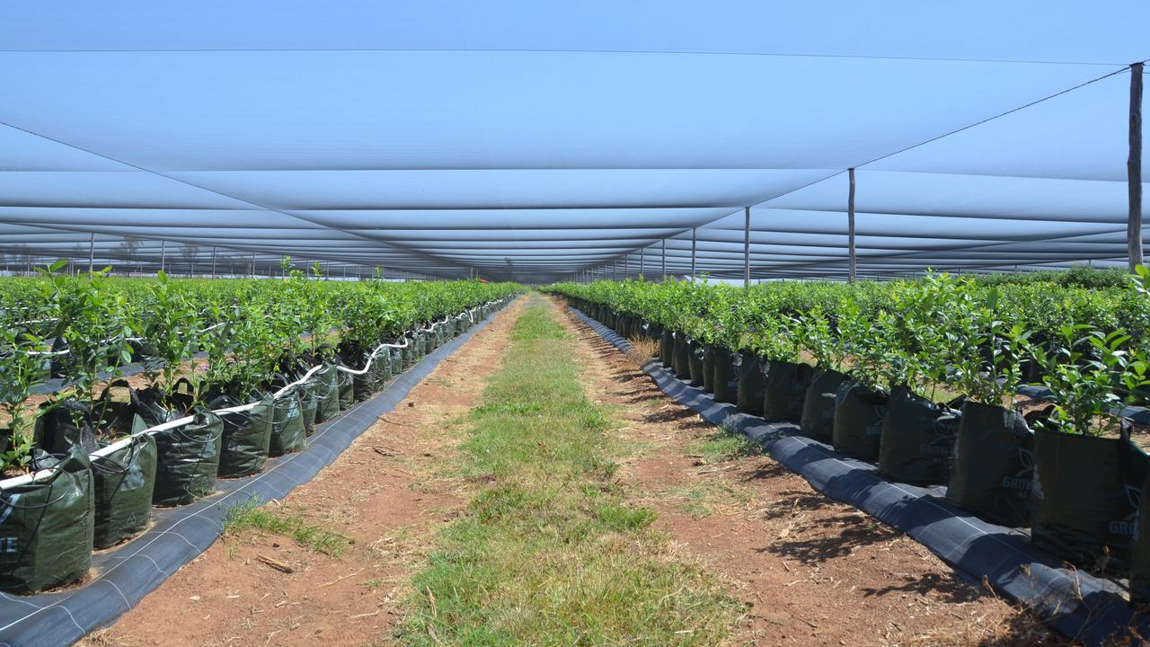 The Smart Berries blueberry farm in Mundubbera. Picture: Sam Turner.