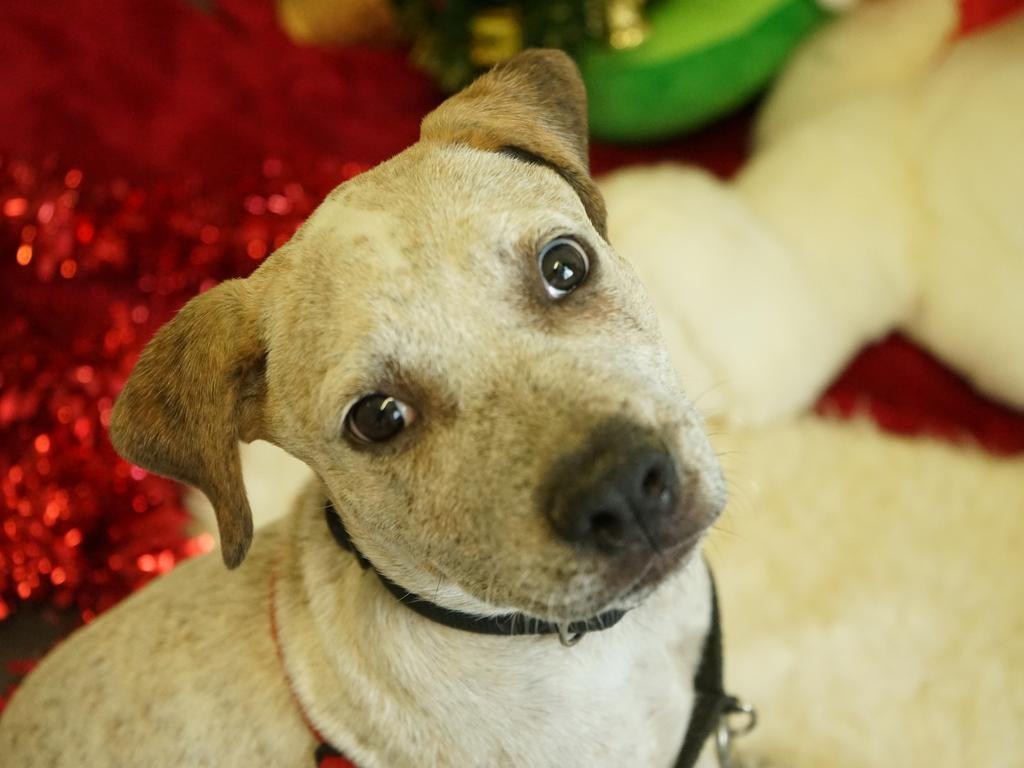 Nugget is available for adoption at Mackay RSPCA. Picture: Rainee Shepperson