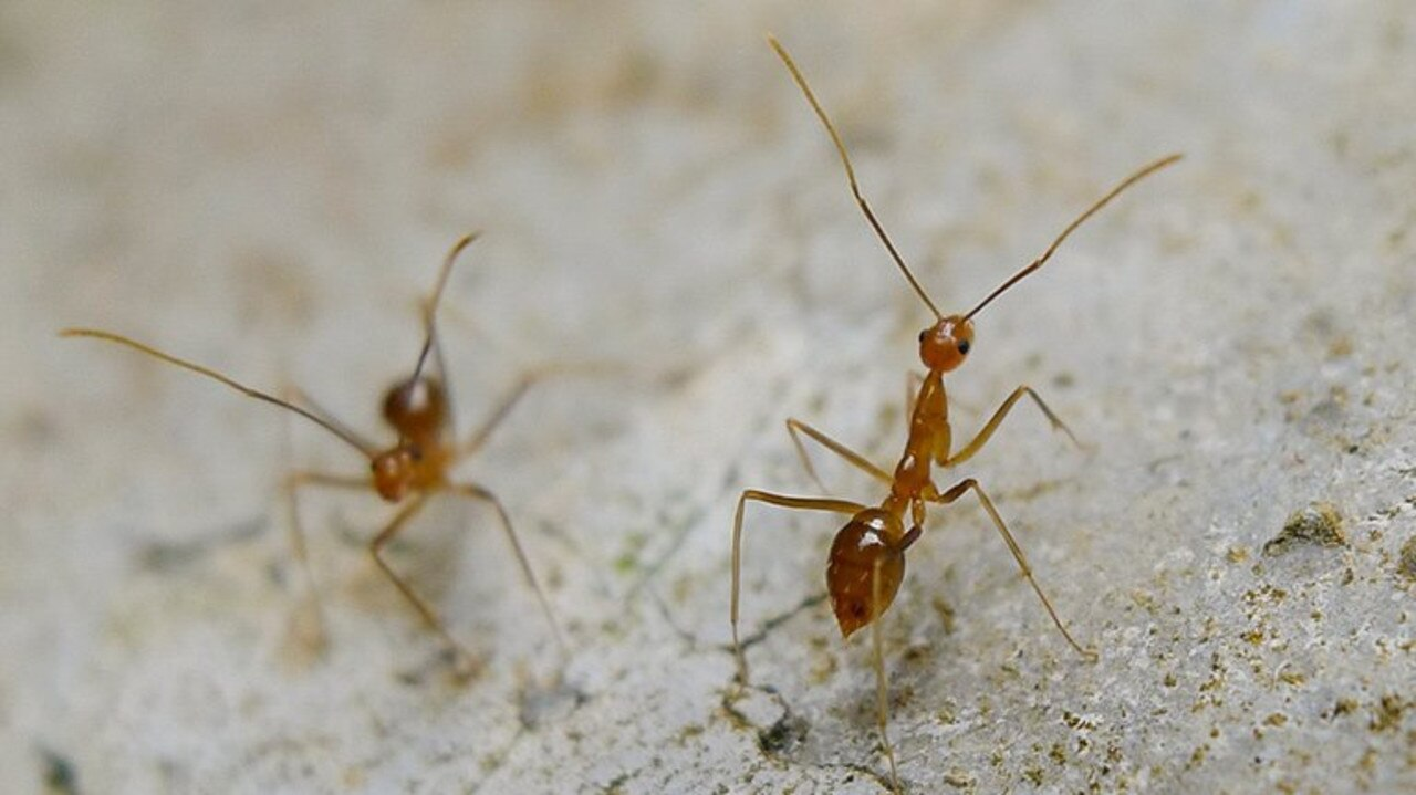BYE BYE ANTS: NSW Department of Primary Industries and Lismore Council staff baiting and tracking yellow crazy ants in Molesworth Street, Lismore as part of the successful biosecurity operation. No YCA have been detected in the area since May 2019.