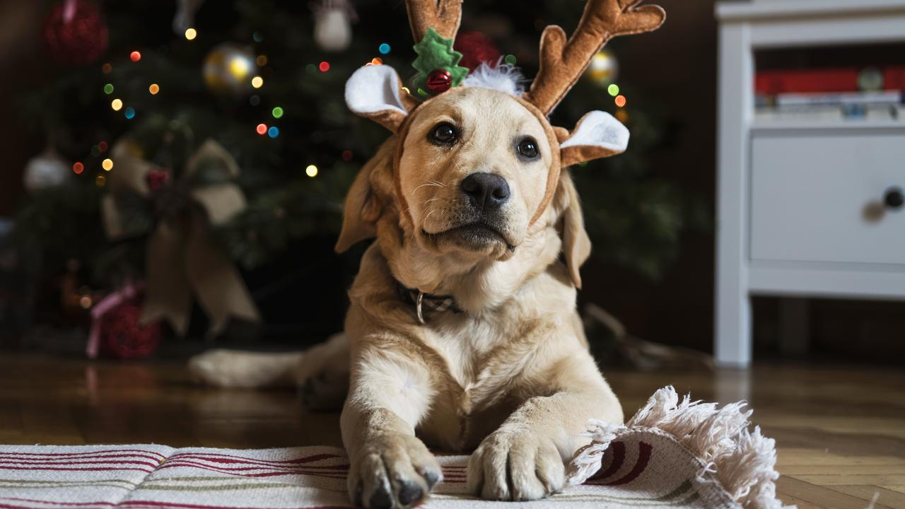 If you want to get your pet a Christmas gift this year, experts are warning owners should steer clear of cheap, small and brittle toys. Picture: Supplied