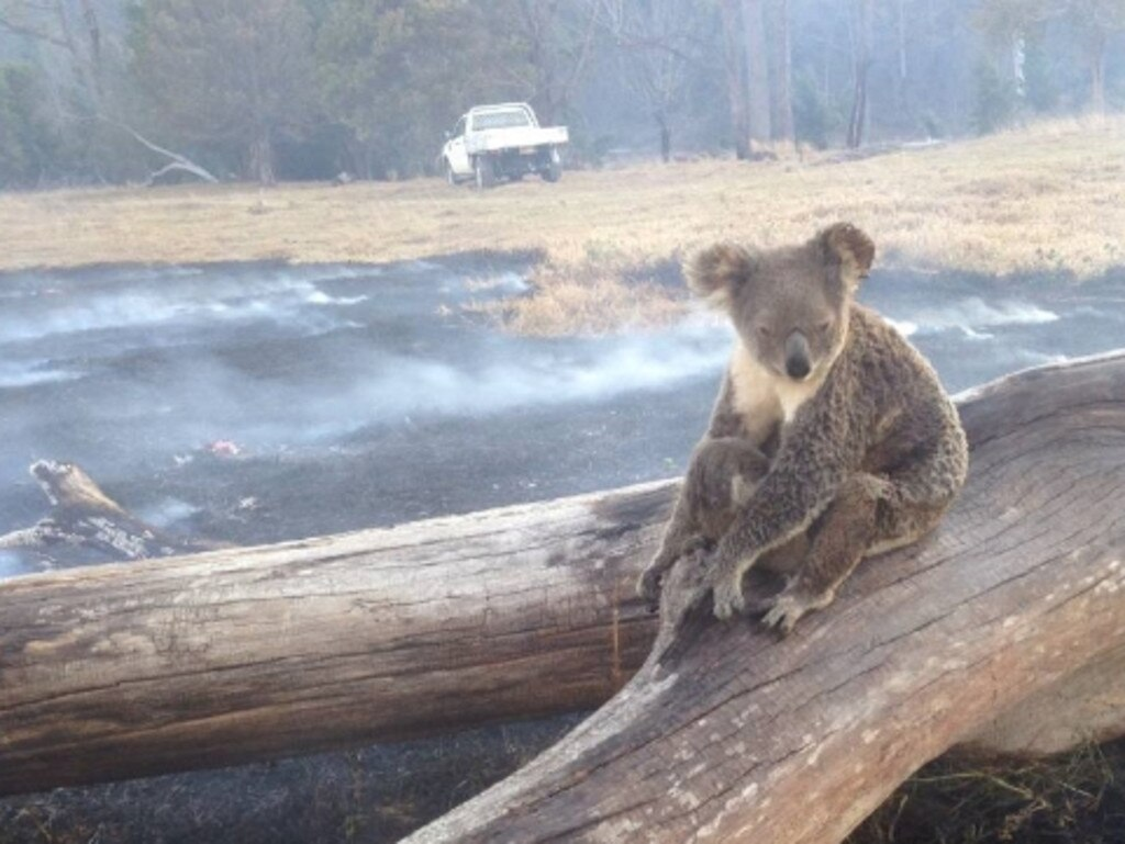 A koala during Queensland fires in September. Picture: Supplied