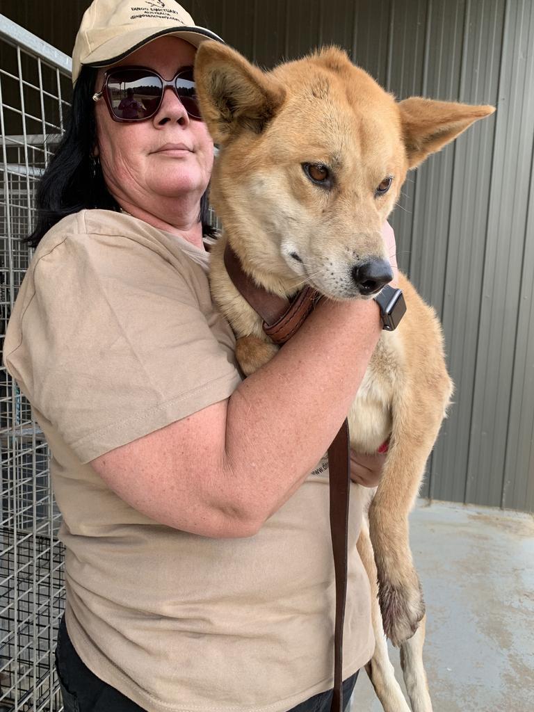 Bargo Dingo Sanctuary volunteer Rebecca Bancroft rescued four animals from the bushfires. The dingo's name is Jarli. Pic Mitchel Van Homrigh
