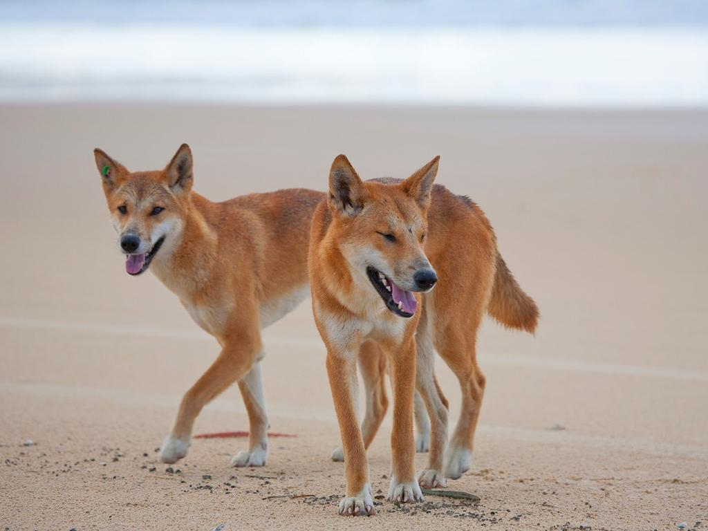 Fraser Island dingoes have attacked Fraser Island tourists a number of times. Picture: Kingfisher Bay Resort