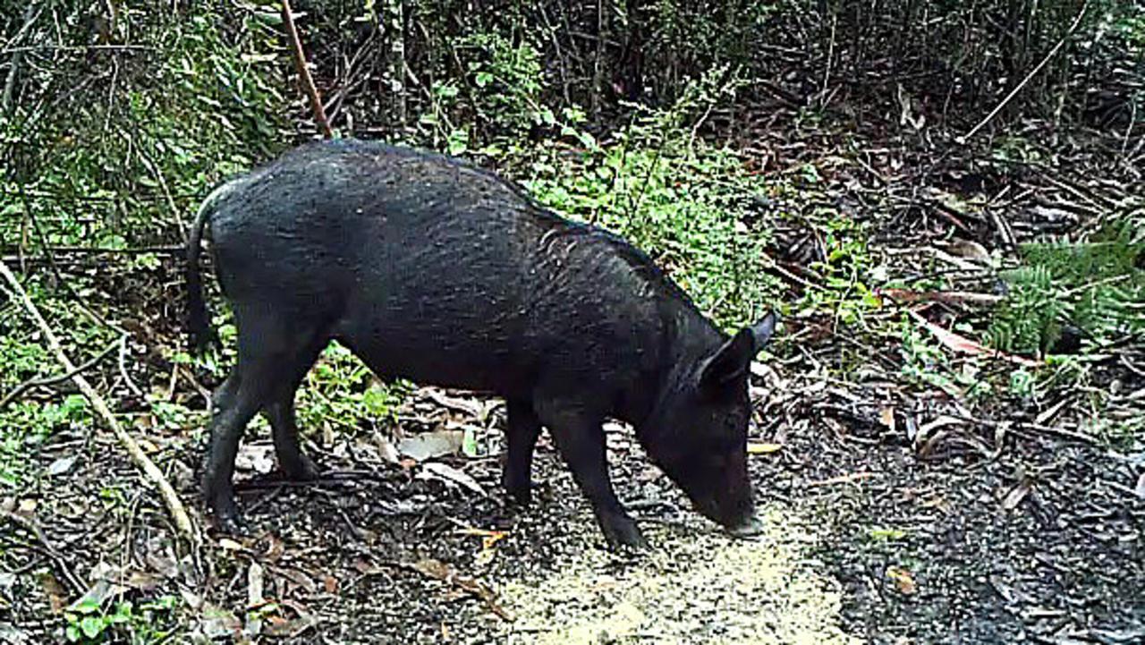 Feral pig damage