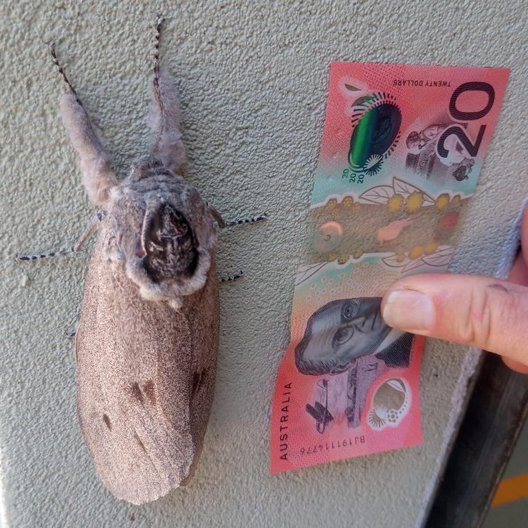This big hairy-legged fellow, a giant wood moth, was discovered hanging out at the Queensland Ambulance station at Ravenshoe. PICTURE: PHILIP JONES