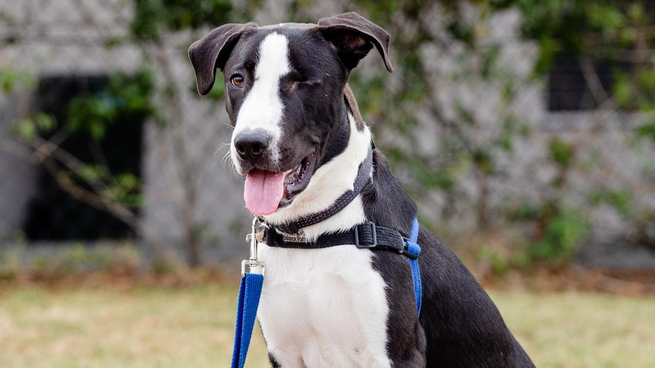 GOOD BOY: Watson, the brave young American Staffie-cross who was found on Midge Point Rd, Bloomsbury, last November after having being shot twice has been recovering with RSPCA slow but steadily.