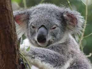 Blunder as rivers, developed areas designated as koala habit