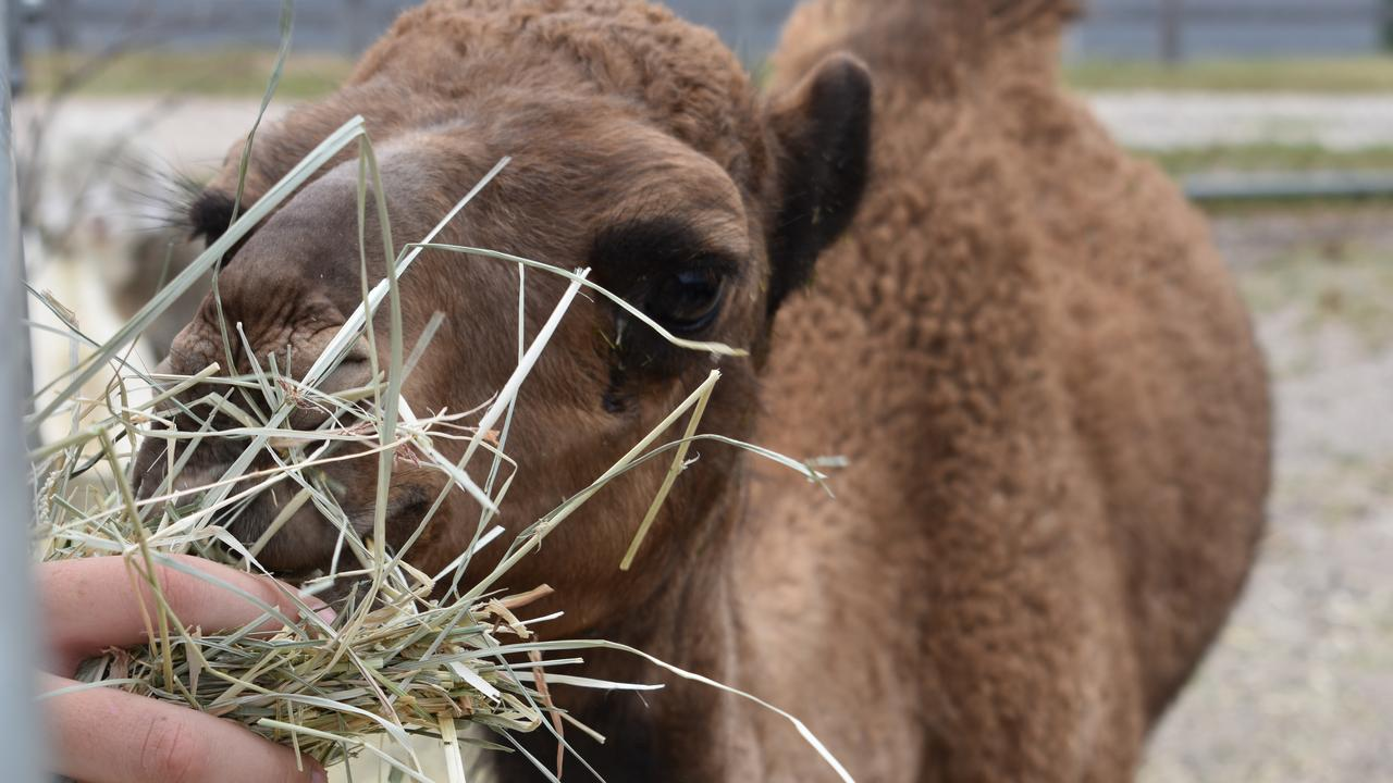 CUTENESS: Cramer the camel loves meeting new people and snacking on animal feed.