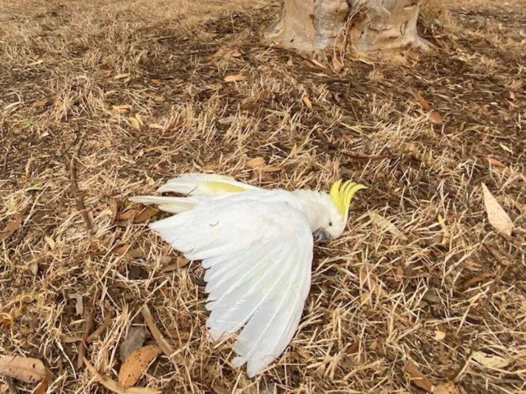 Another dead cockatoo. Picture: @westwills3_bill via Twitter