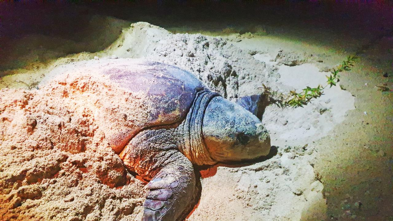 A turtle sighting on a Reef Catchments monitoring trip was the first of its kind for the region. Loggerhead turtles are endangered and don't tend to nest this far north.