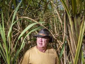 Sweet year for cane despite drought