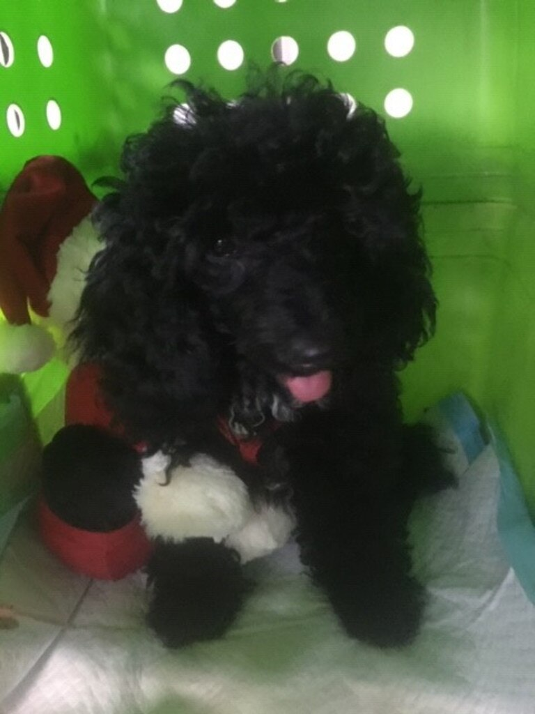 Miniature parti poodle Holly before her big flight to Perth to be with her new family for Christmas.