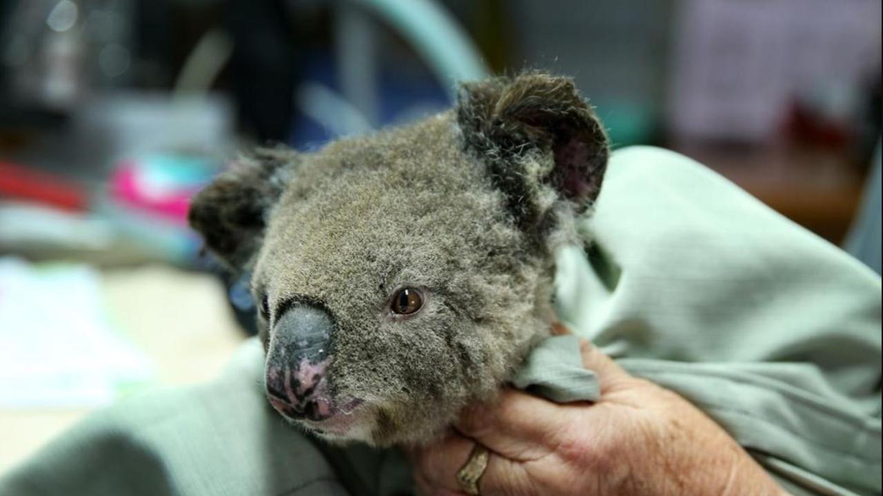 A koala named Sharni from Crowdy Bay National Park is treated for burns at the Port Macquarie Koala Hospital on November 29.