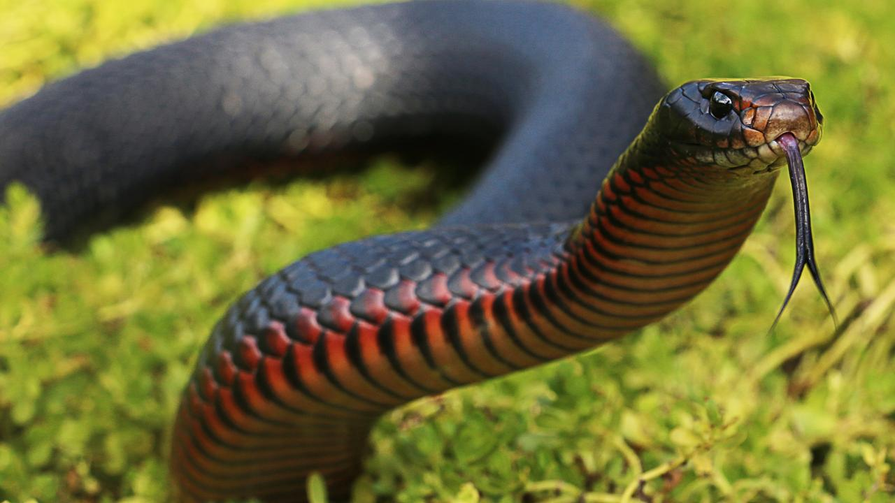 The snake as distinctive colouring on its belly.
