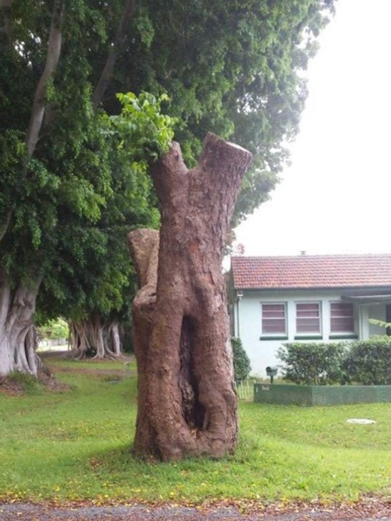 A photograph posted by Clarence Valley Council on its Facebook page of the remains of the scar tree on the corner of Breimba and Dovedale Sts, Grafton, before it was completely destroyed by council. It forms part of the public notice admitting guilt as per orders handed down by the Land & Environment Court on December 21.
