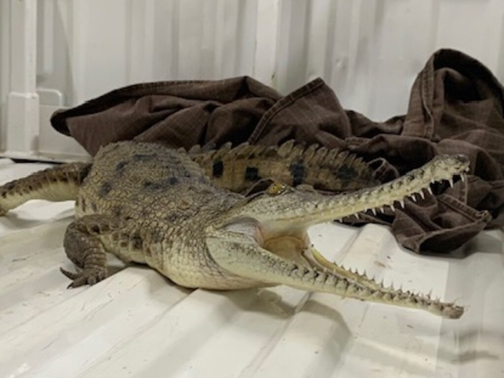 A freshwater crocodile was captured in the main street of Palmerston overnight.