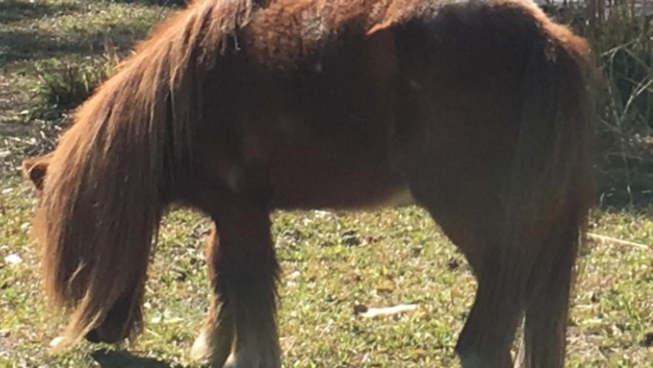 PONY SHOT: A miniature pony rescued from the bushfires in September was fatally shot on private property in Ewingar on December 29, 2019 and police are investigating.
