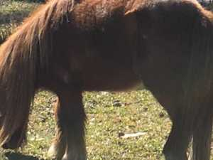Family mourns shooting of 'sweetheart' pony Diesel