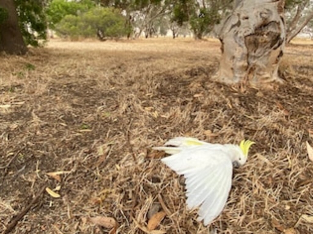 In some cases the heat alone has been enough to kill, with reports of cockatoos and other native birds dropping dead amid soaring temperatures. Picture: AP/Bill Wallace.
